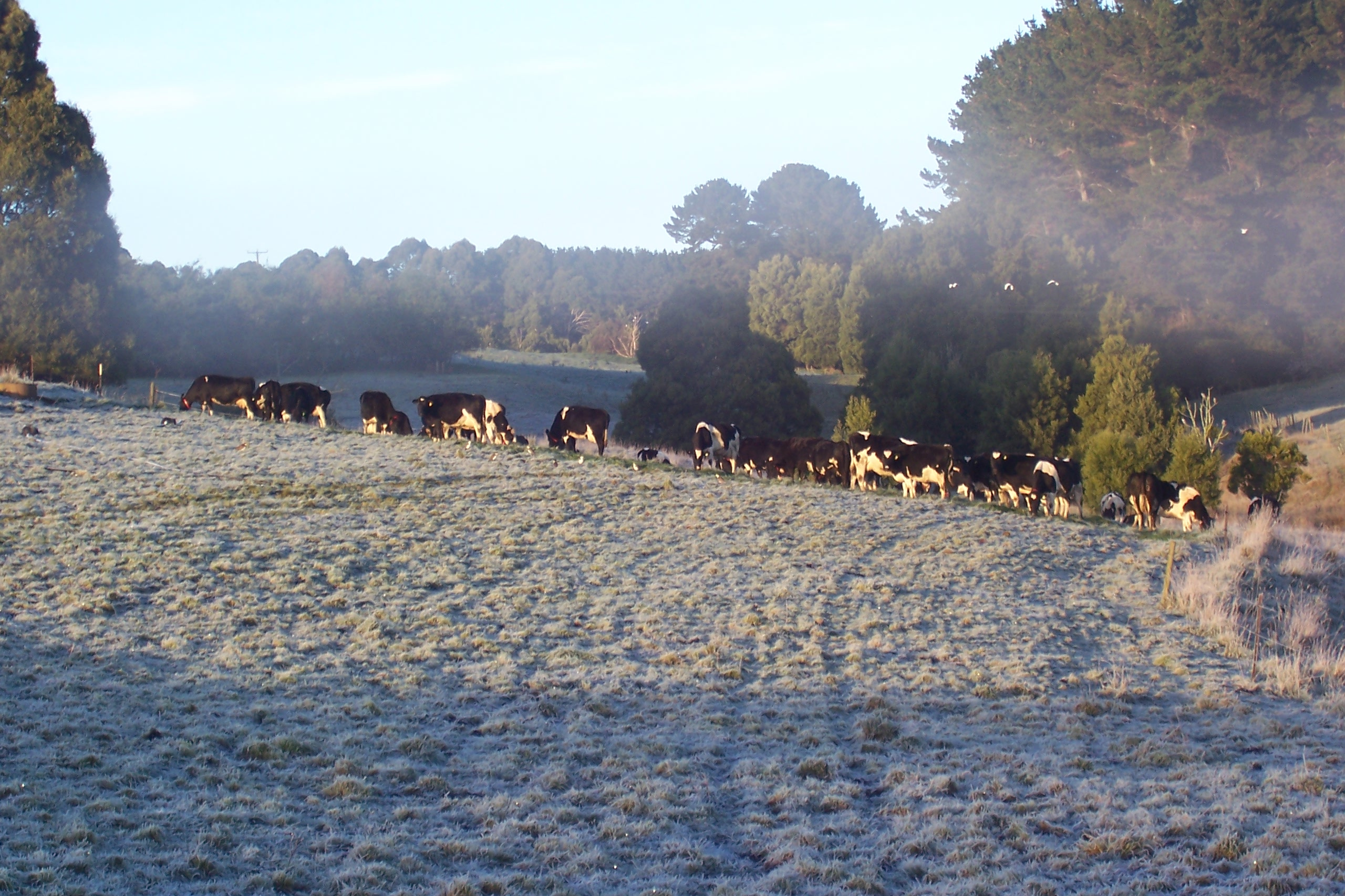 Cows grazing frosty morning