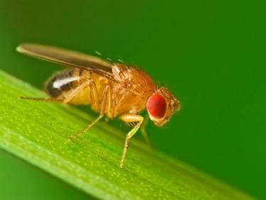 Humble vinegar fly's genes could help combat pest species