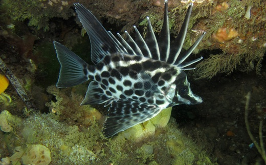 Longsnout Boarfish