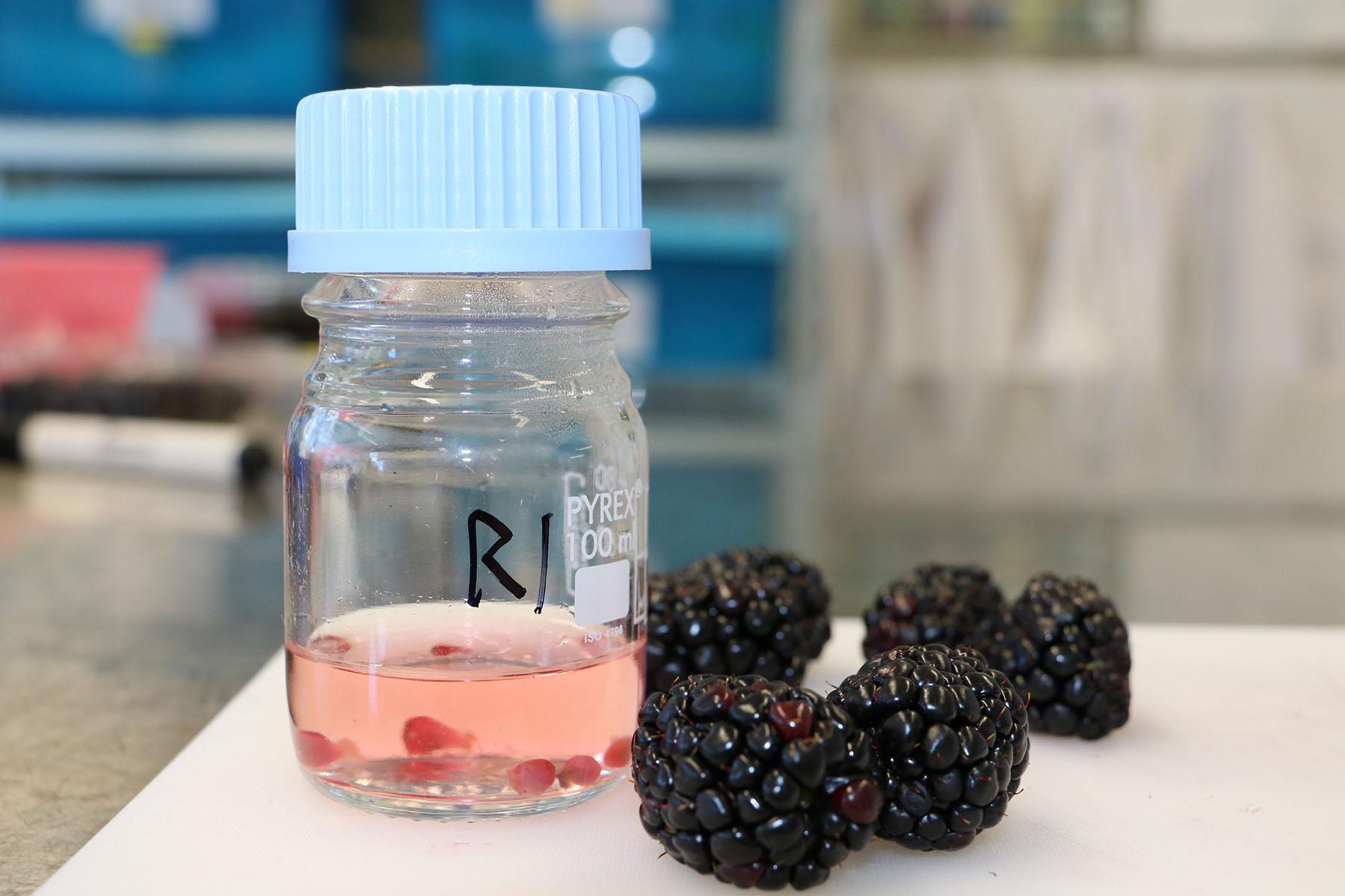 Red drupelet reversion blackberries
