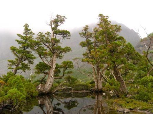 Pencil pines near Cradle Mountain