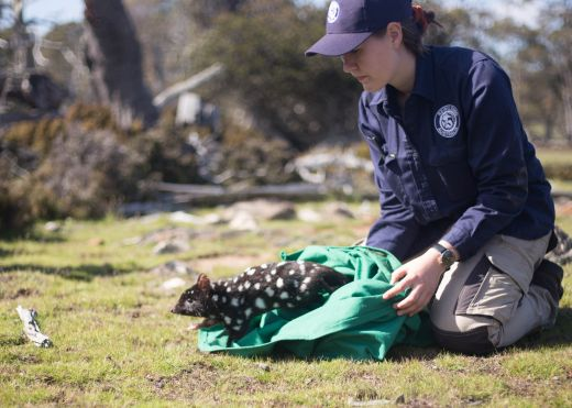 Molly Barlow releases an Eastern quoll in the Central Highlands_ pic credit Harrison Talarico