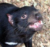 Dr Eric Guiler Tasmanian Devil Research Grants awarded