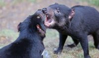 Unexpected discovery behind second devil facial tumour