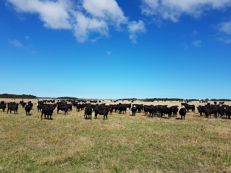 Cows on King Island