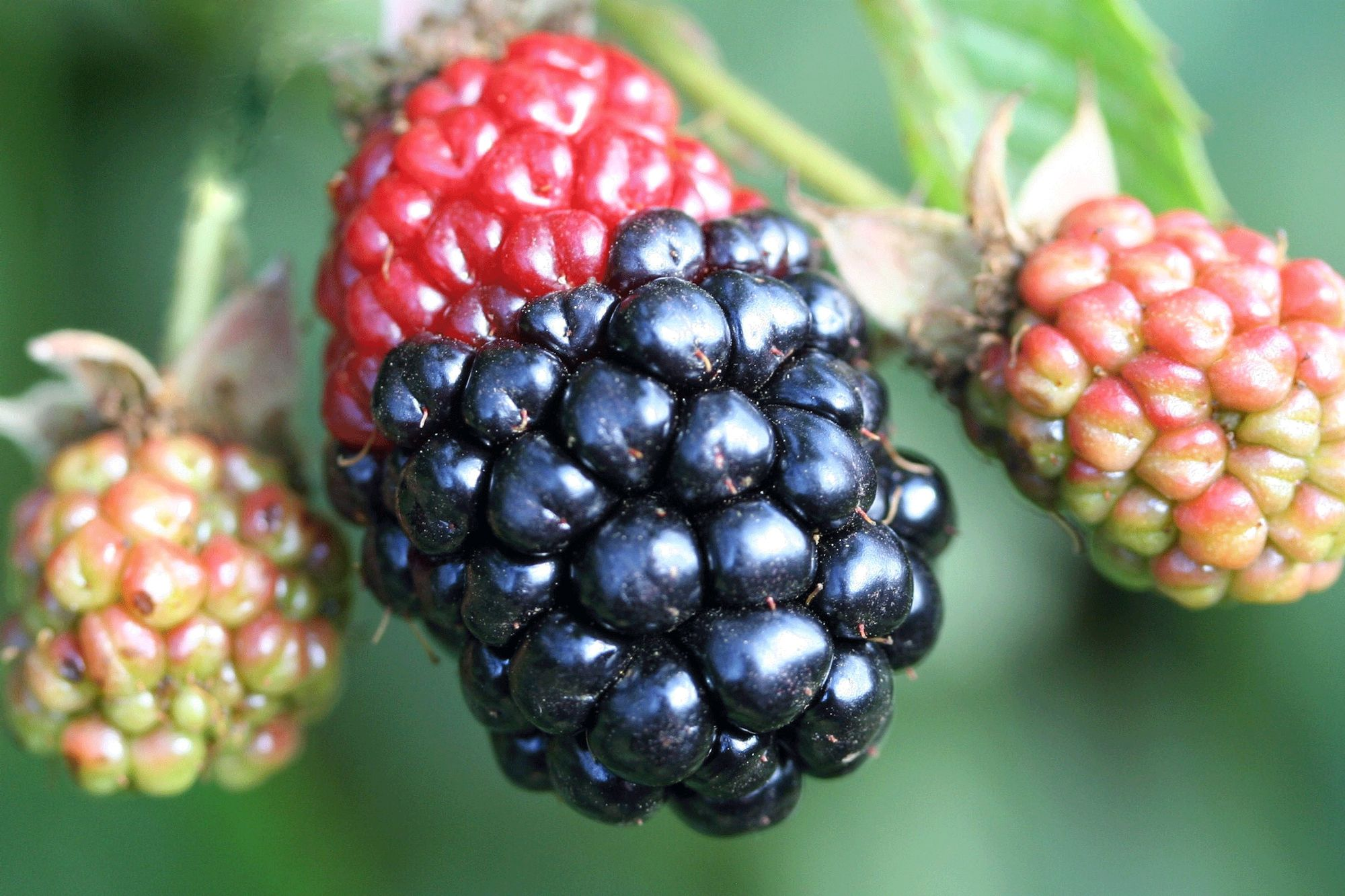 Redberry mite blackberry