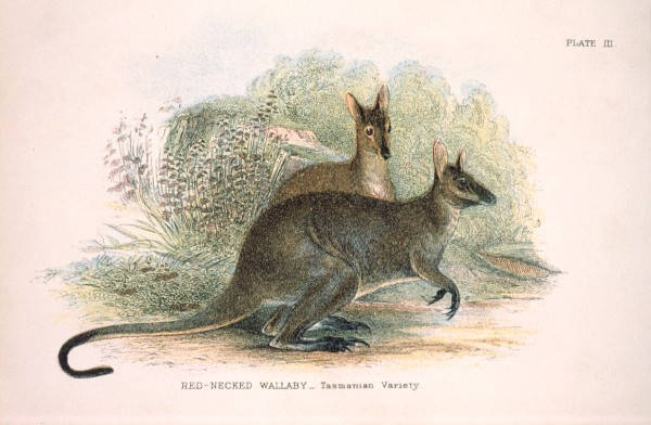 What Food Did The Tasmanian Tiger Eat