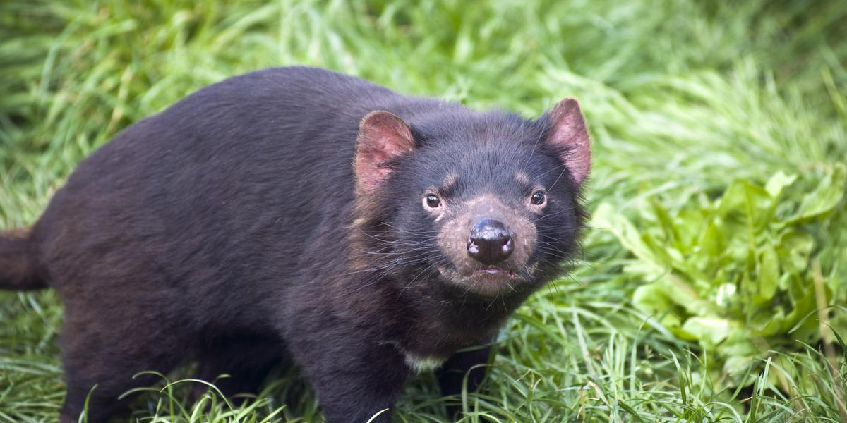 securing the future of our tasmanian devil